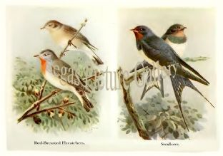 Red-Breasted Flycatchers & Swallows